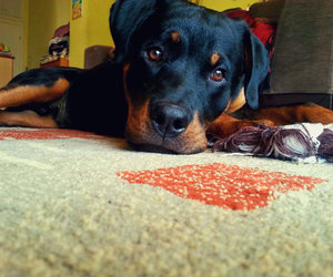 dogs, rottweiler, and love image
