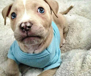 adorable, little, and pitbull image