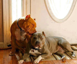 dogs, pitbull, and please image