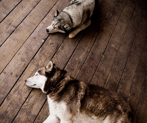 dog, animal, and husky image
