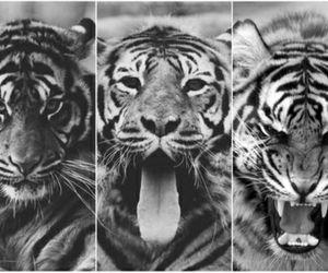 animal, tiger, and wallpaper image