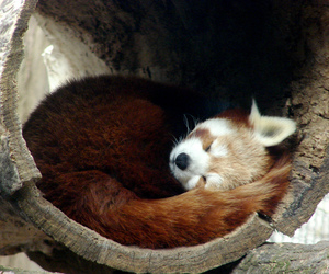 Red panda, soe, and supershot image