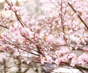 bloom, blossoms, and cherry blossoms image