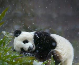 animal and panda image
