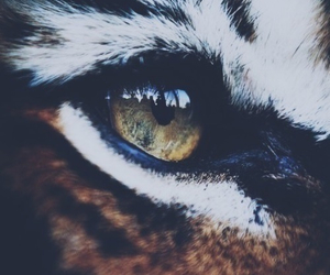 tiger, eye, and animal image