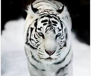 tiger, white, and animal image