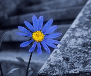 blue, daisy, and flower image