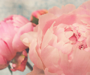 peonies and flower image