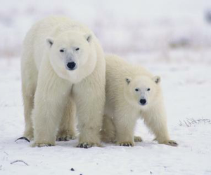 animals, bears, and snow image