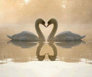 animals, Swan, and love image