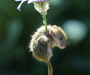 mouse and flower image
