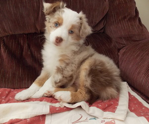 doggy, puppy, and red merle image