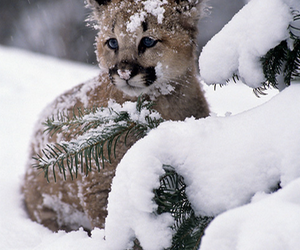 snow, COUGAR, and winter image