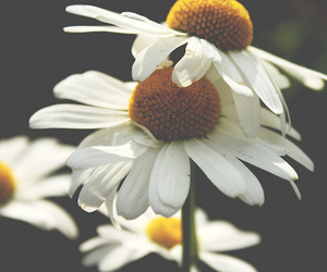 flowers, daisy, and indie image