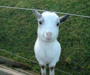 cute, animal, and goat image