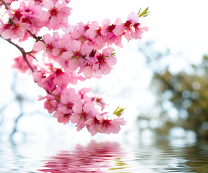 cherry blossom, pink, and cute image