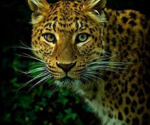 big cats, cute animals, and leopard image