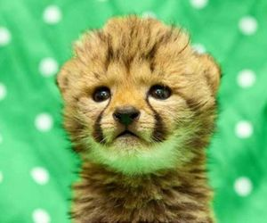 cheetah, cute, and animal image