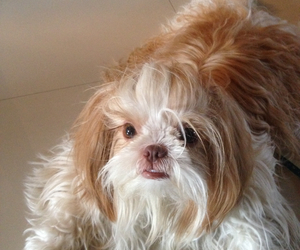 dogs, shih tzu, and pets image