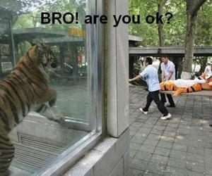 tiger, funny, and zoo image