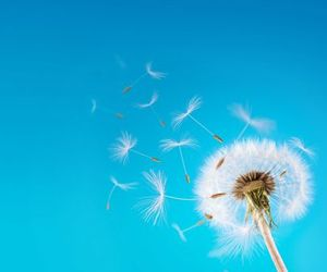 blue, dandelion, and seed image