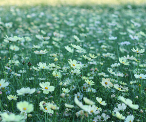 daisies, field, and flowers image
