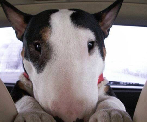dog, cute, and bull terrier image