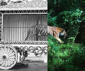 tiger, freedom, and animal image