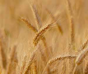 close-up, spikes, and wheat image