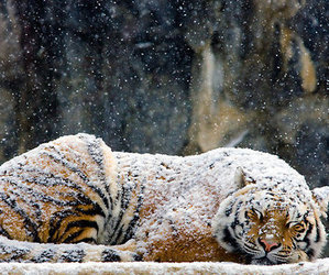 sleeping, tiger, and snow image