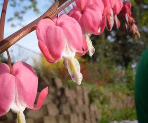 beautiful, bleeding hearts, and flower image