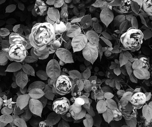 flowers, black and white, and rose image