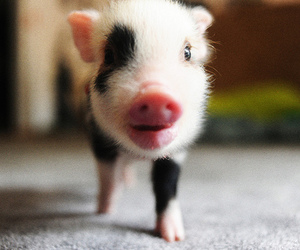 black and white, pig, and cute image