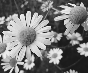 daisy, flowers, and cute image