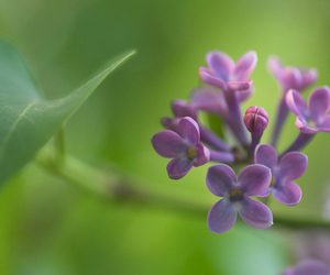 blur, leaf, and lilacs image