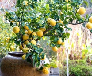 lemon and tree image