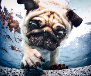 dog, pug, and water image