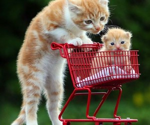 adorable, kittens, and shopping image