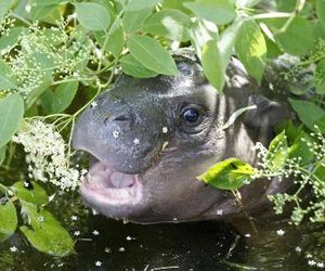 baby hippo and hippo image