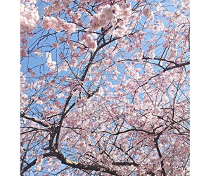 beautiful, blogger, and cherry blossom tree image