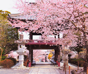japan, sakura, and asia image