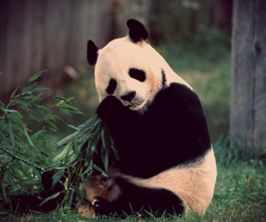 panda, animal, and bear image