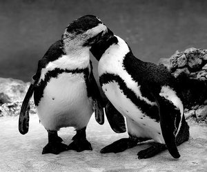 ice, penguin, and b w image