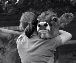 animal, beauty, and cow image