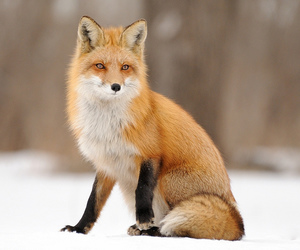 fox and winter image
