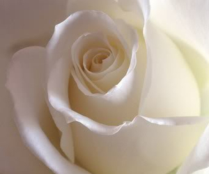 flower, respect, and rose image