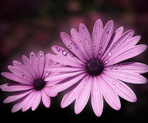 daisies, flowers, and purple image