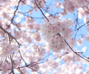 blossoms, cherry, and cherry blossom tree image