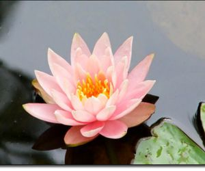 lily, flower, and water lily image