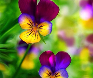 flowers, nature, and pansy image